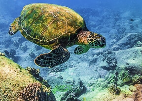 Honu rainbow sea turtle photography hawaii