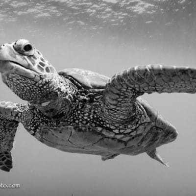 Turtle - Hawaii Ocean Photography