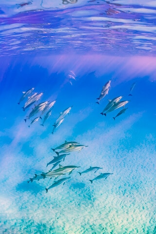 dolphins in the hawaiian ocean photography underwater
