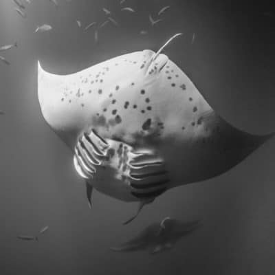 Manta Ray - Hawaii Ocean Photography