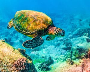 Rainbow Honu - Hawaii Ocean Photography