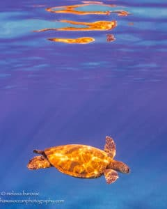 Turtle Reflections - Hawaii Ocean Photography