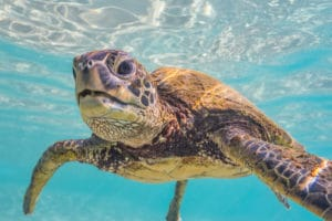 Baby Turtle - Hawaii Ocean Photography