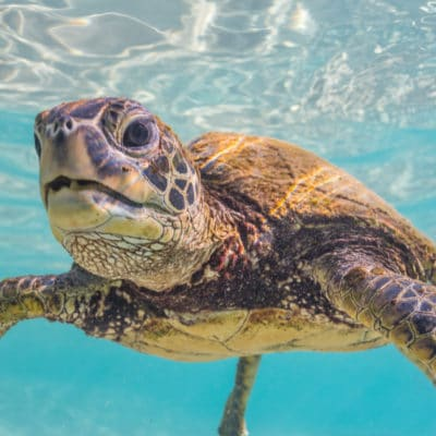 Kona Turtle - Hawaii Ocean Photography