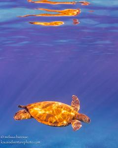 Honu Reflections