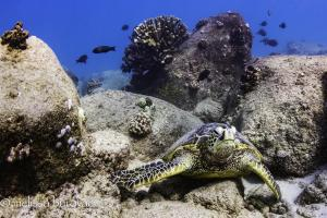Honu napping