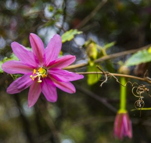Pink Passionflower
