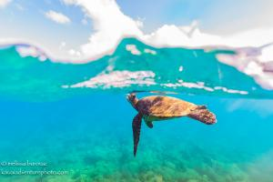 Sea TurtleHawaii Ocean Photography